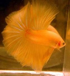 Рыбка петушок, петушок бойцовская рыбка, фото, аквариумные ...