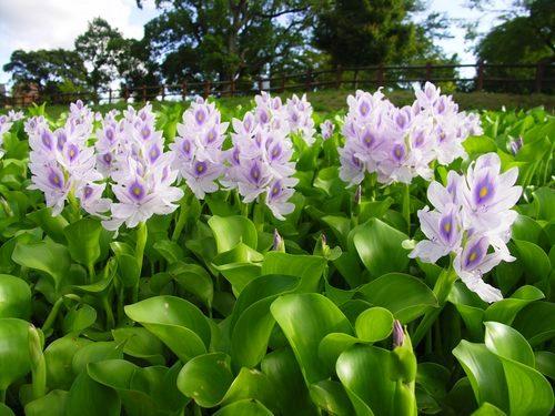 Фото цветок эйхорния